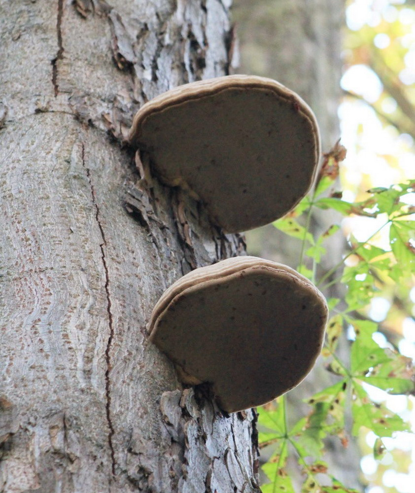 arbre et carpophore champignon lignivore